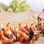 Gà chạy bộ - thịt gà sạch giàu dinh dưỡng cho mọi gia đình